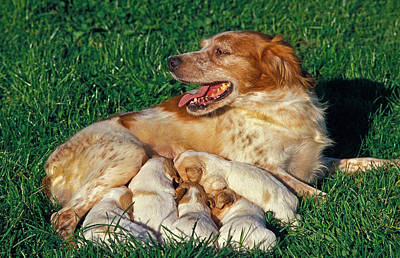 Pet Care Photograph - Brittany Spaniel by Gerard Lacz