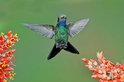 Broad-billed Hummingbird Art Print by Anthony Mercieca