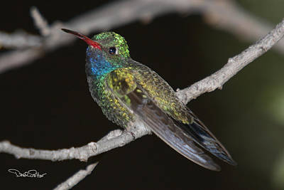 Wildlife Photograph - Broad-billed Hummingbird by David Salter