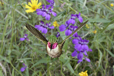 Photograph - Broad-tailed Hummingbird by Gregory Scott