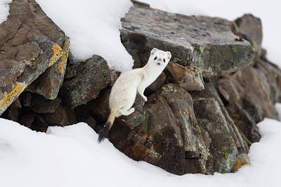 Weasel Photograph - Brooks Range, Arctic National Wildlife by Hugh Rose