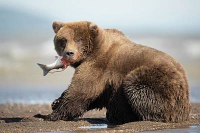 Coho Photograph - Brown Bear by Dr P. Marazzi