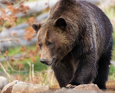 Brown Bear Wall Art - Photograph - Brown Bear, Grizzly, Ursus Arctos, West by Maresa Pryor