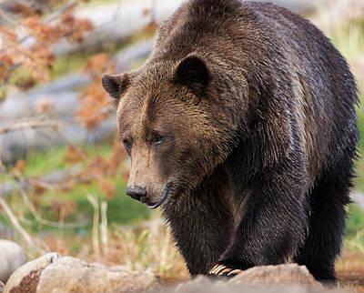 Brown Bear Photograph - Brown Bear, Grizzly, Ursus Arctos, West by Maresa Pryor