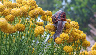 Photograph - Brown Garden Snail by Walter Klockers