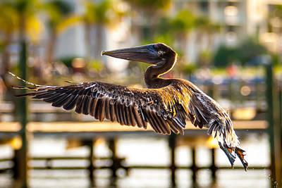 Photograph - Brown Pelican by Alex Grichenko