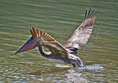 Bayfront Park Photograph - Brown Pelican by Betsy Knapp