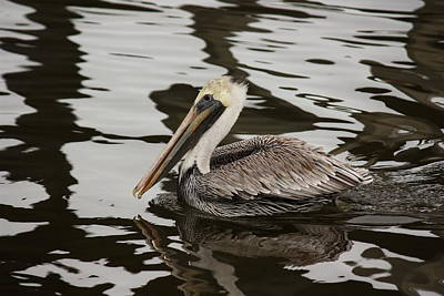 Lone Pelican Photograph - Brown Pelican by Steve Phillips