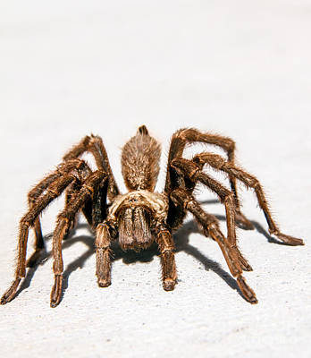Photograph - Brown Tarantula by Robert Bales