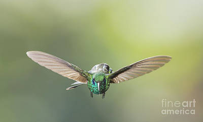 Photograph - Brown Violet-ear Hummingbird by Dan Suzio