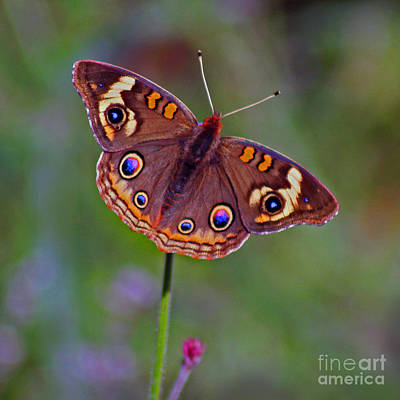 Photograph - Buckeye Butterfly by Karen Adams