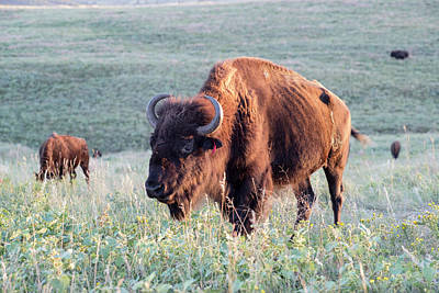 Buffalo In Custer State Park (large Art Print