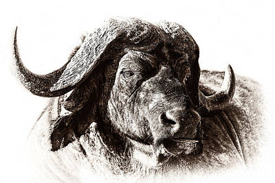 Rhinocerus Photograph - Buffalo Sketch by Mike Gaudaur