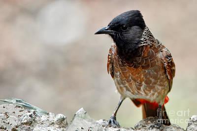 Red Whiskered Bulbul Photograph - Bulbul Bird by Nilay Tailor