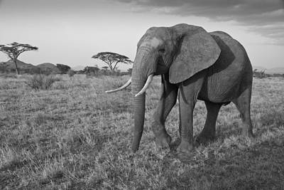 Photograph - Bull Elephant At Samburu by Michele Burgess