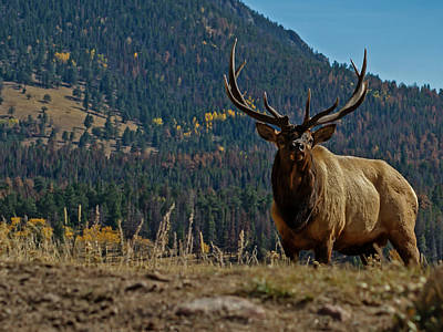 Photograph - Bull Elk by Ernie Echols