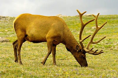 Grazing Elk Photograph - Bull Elk Grazing by Jeff Swan