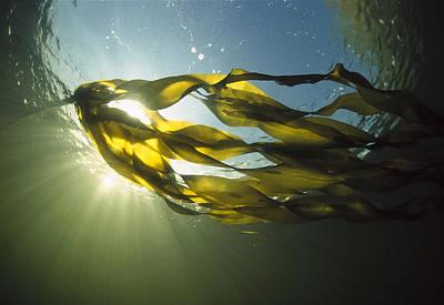 Bull Kelp Nereocystis Luetkeana Art Print