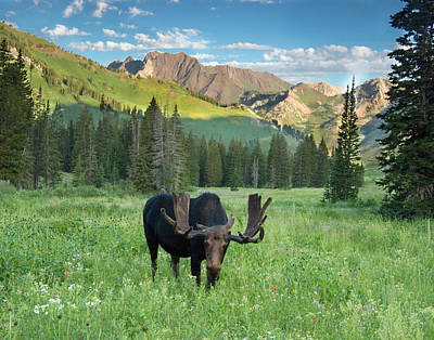 Bull Moose (alces Alces Art Print by Howie Garber