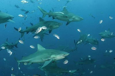 Feeding Photograph - Bull Shark (carcharhinus Leucas by Pete Oxford
