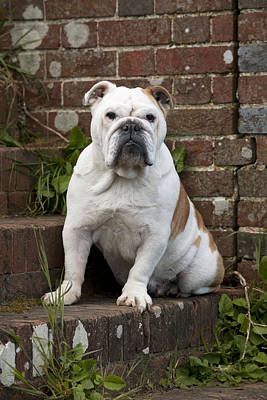Front Steps Photograph - Bulldog On Steps by John Daniels