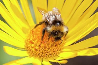Feeding Photograph - Bumblebee Feeding On Garden Plants by Ashley Cooper