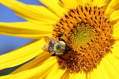 Photograph - Bumblebee On Sunflower by Lucinda VanVleck