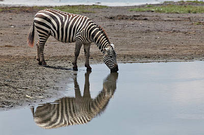 Burchell's Zebra And Reflection, Lake Art Print by Adam Jones