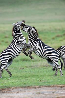 Burchells Zebras Equus Burchelli Art Print by Panoramic Images