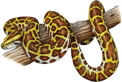 Burmese Python Photograph - Burmese Python by Roger Hall