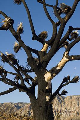 Photograph - Burned Joshua Tree by Dan Suzio