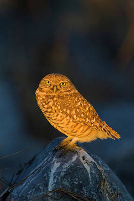 Burrowing Owl Photograph - Burrowing Owl (athene Cunicularia by Larry Ditto