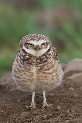 Burrowing Owl Photograph - Burrowing Owl by Ken Archer