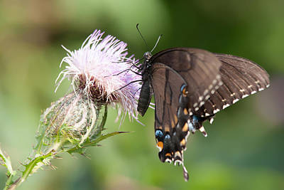 Photograph - Butterfly by Alex Grichenko