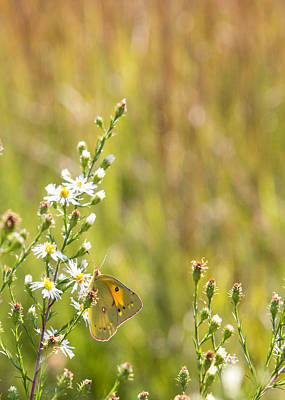 Butterfly In A Field Of Flowers Art Print