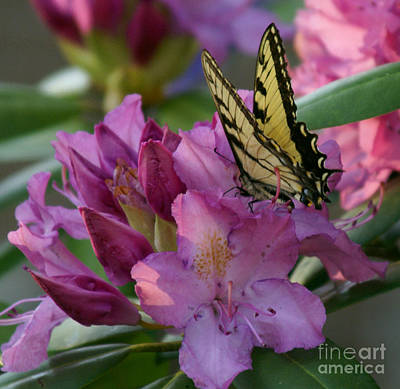 Photograph - Butterfly On Laurel by Annlynn Ward