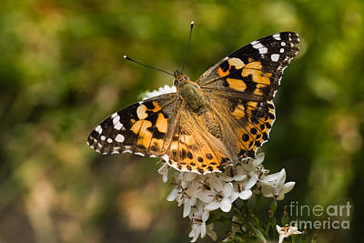 Gooseneck Loosestrife Photograph - Butterfly Painted Lady On Gooseneck Loosestrife by Colette Planken-Kooij