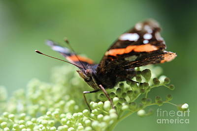 Quadro Photograph - Butterfly by Susana Vieira