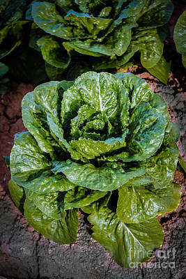 Butterhead Lettuce Art Print by Robert Bales
