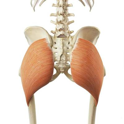 Buttocks Photograph - Buttock Muscle by Sciepro
