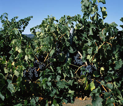 Cabernet Sauvignon Grapes In Vineyard Art Print by Panoramic Images