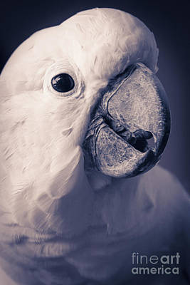 Photograph - Cacatua Moluccensis - Moluccan Cockatoo by Sharon Mau