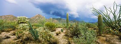 Cacti Growing At Saguaro National Park Art Print by Panoramic Images