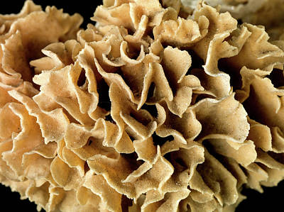 Anthozoa Photograph - Cactus Coral by Natural History Museum, London