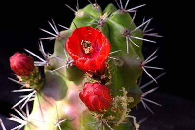 Photograph - Cactus Flower by Marilyn Burton