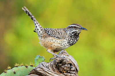 Wren Wall Art - Photograph - Cactus Wren, Campylorhynchus by Larry Ditto