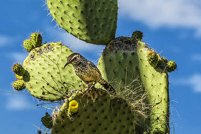 Photograph - Cactus Wren by J Michael Runyon