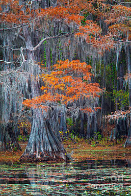 Lilies Royalty-Free and Rights-Managed Images - Caddo Lake Autumn by Inge Johnsson