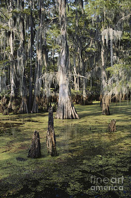 Cypress Swamp Photograph - Caddo Lake, Texas by Gregory G. Dimijian, M.D.