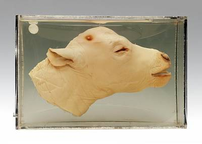 Bos Bos Photograph - Calf Head by Ucl, Grant Museum Of Zoology